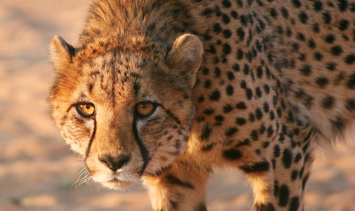asian cheetah s tarvels